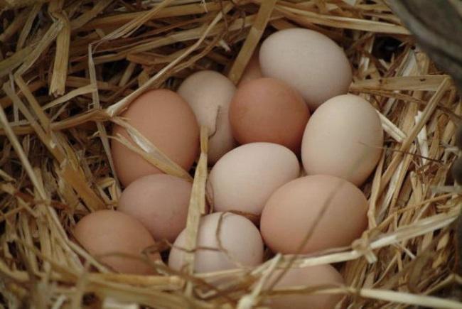 яйца-под-наседку-яйца-для-инкубации-куры-наседки.jpg