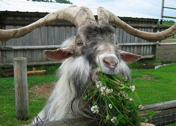 сколько-лет-живёт-коза.jpg