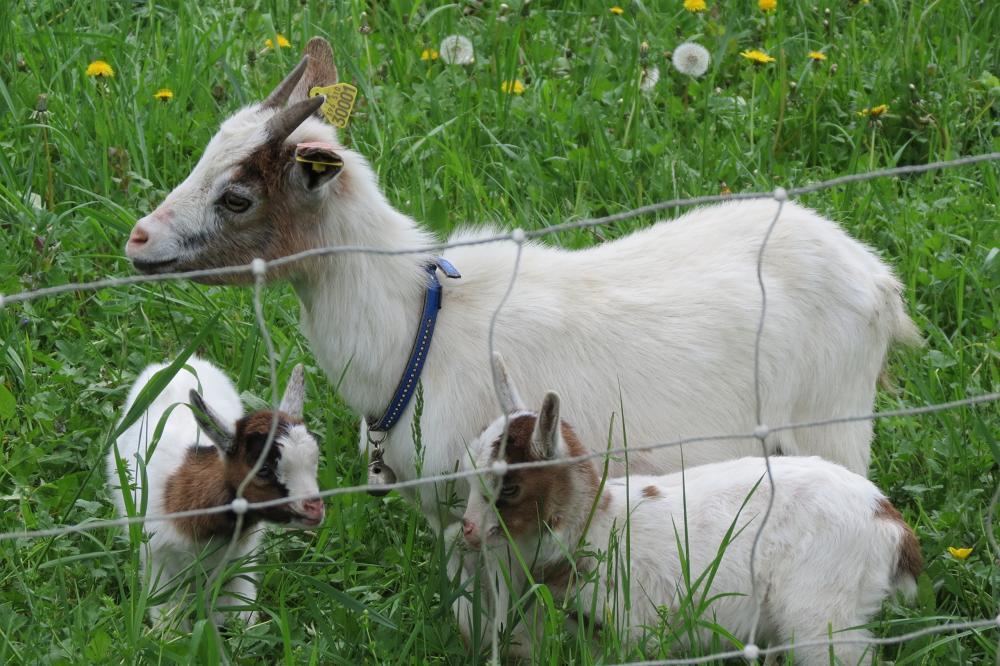 Goat_436544.jpg