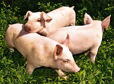 свиньи.jpg