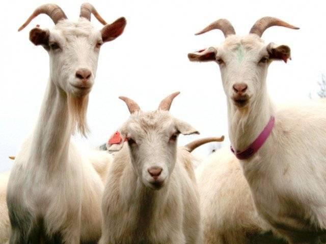 1150012-goatsstockx-1469569005-685-640x480.jpg