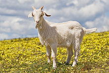 220px-Domestic_goat_kid_in_capeweed.jpg