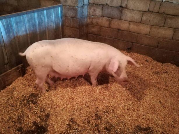 свини.jpg