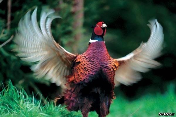 фазан Крылья.jpg