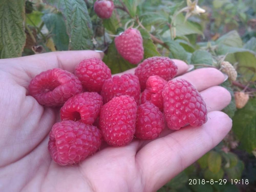 ягоды.jpeg