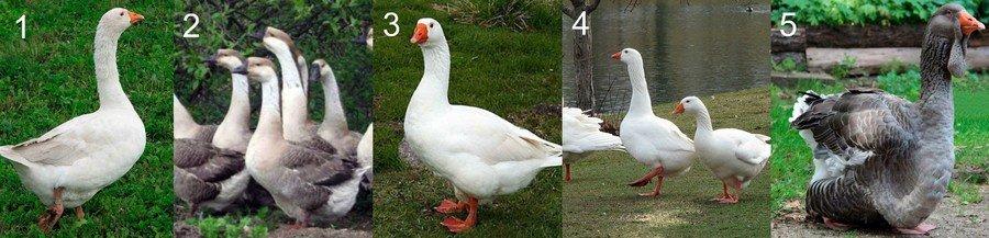 Каких гусей лучше выбирать?