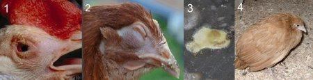 Болезни кур несушек и их лечение фото