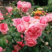 Как вырастить розу: из черенка и семян в домашних условиях