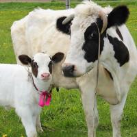 Корова отелилась что делать Советы ветеринара