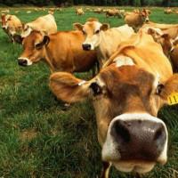 Породы коров молочного направления айрширская молочная порода
