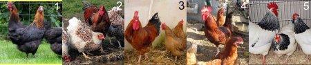 Яичные породы кур с фотографиями и описанием