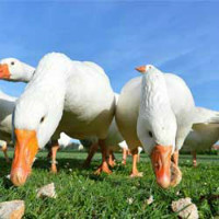 Чем кормить гусей для быстрого роста и набора веса на мясо в домашних условиях
