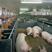 Как построить правильный свинарник – Cельхозпортал