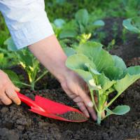 Выращивание капусты в открытом грунте семенами