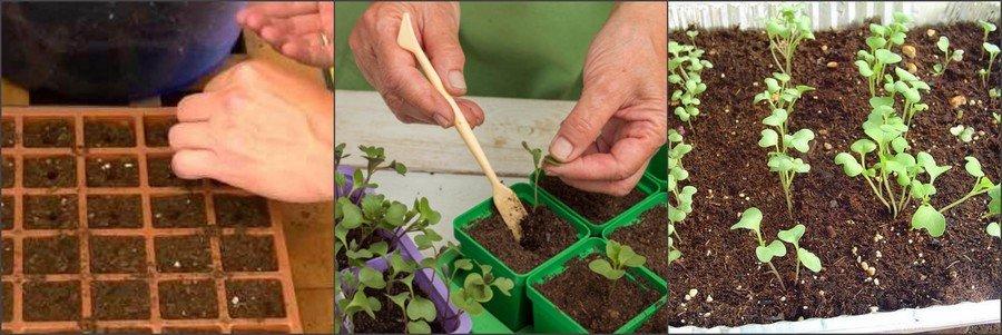 Посев белокочанной капусты