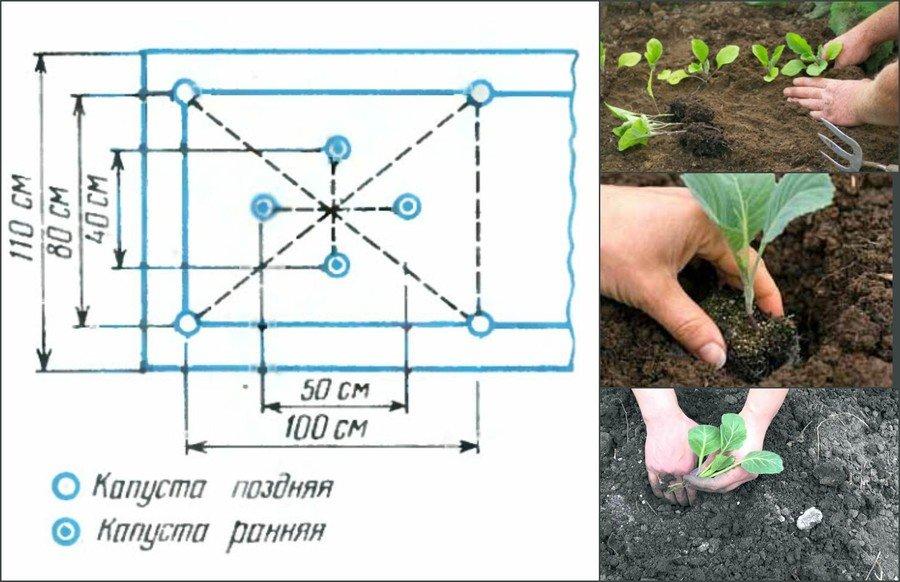 как правильно вырастить капусту белокочанную