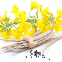 Рапс в качестве сидерата: как сеять озимый и яровой рапс? Применение осенью, советы по перекапыванию
