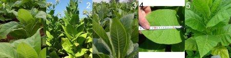 Выращивание табака в домашних условиях