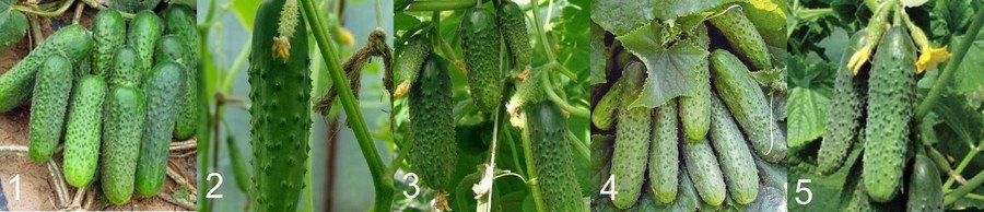 Выращивание огурцов в открытом грунте в Подмосковье как и когда сажать