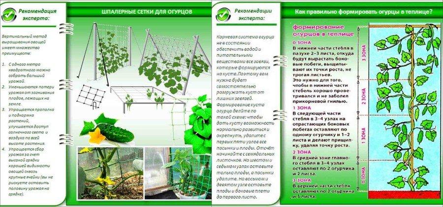 Особенности выращивания огурцов в теплице 85