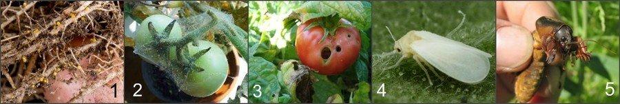 Вредители помидор