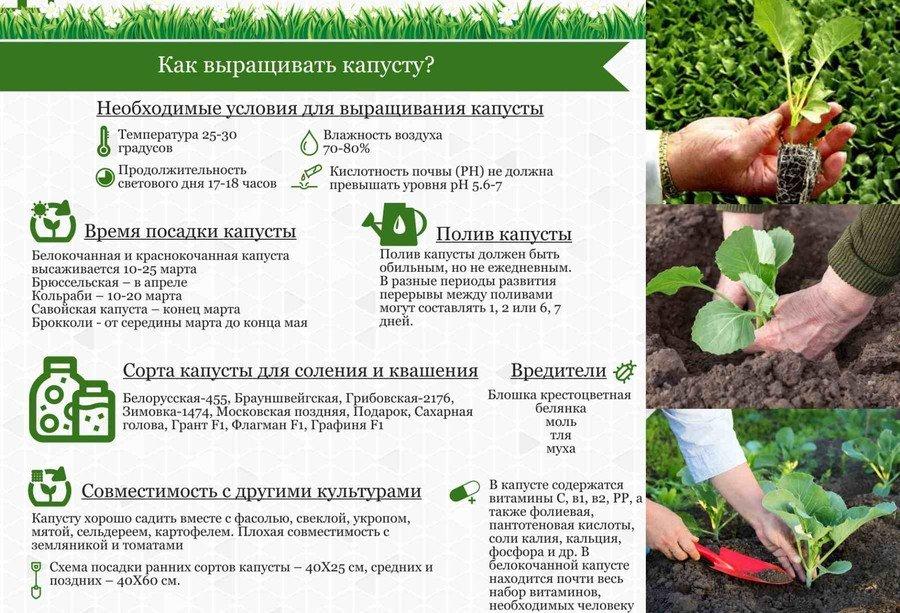 Технология выращивания ранней капусты 72