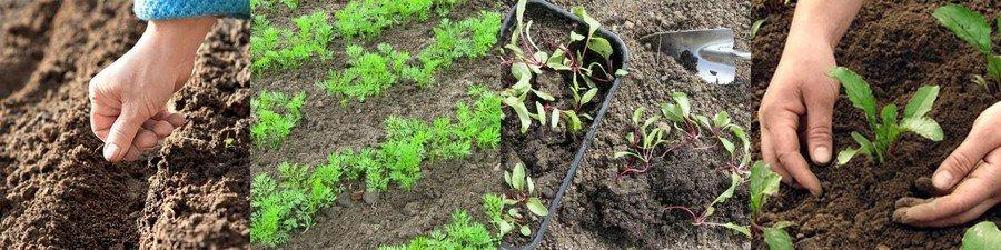 Посев корнеплодов в открытый грунт