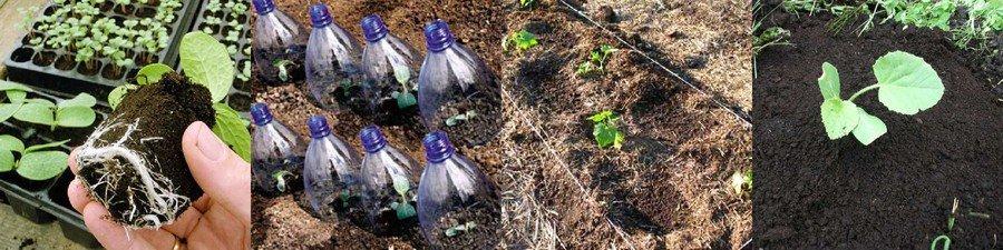 Выращивание тыквенных культур