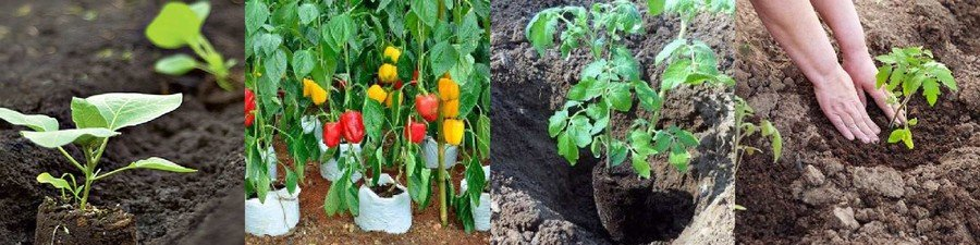 Посадка перцев и томатов в открытый грунт
