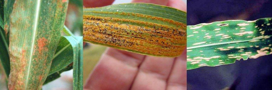 Ржавчина кукурузы