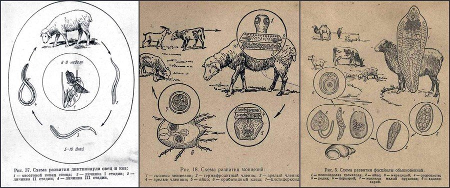 Курсовая работа мониезиоз овец 5446