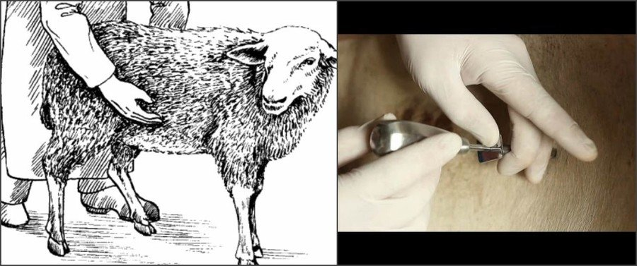 Вздутие рубца у овец