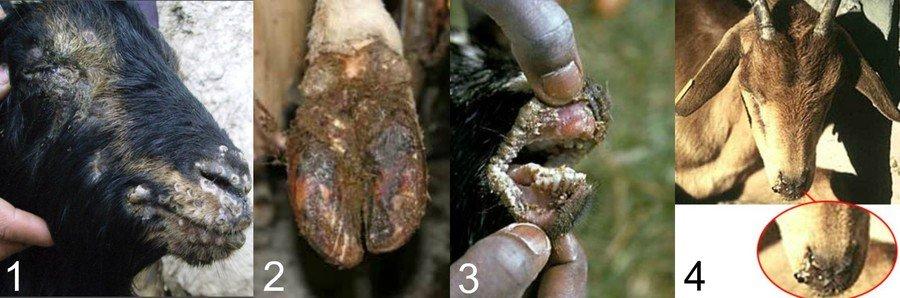 Различные болезни вымени у козы