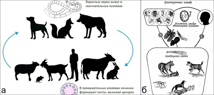 Паразитарные болезни коз
