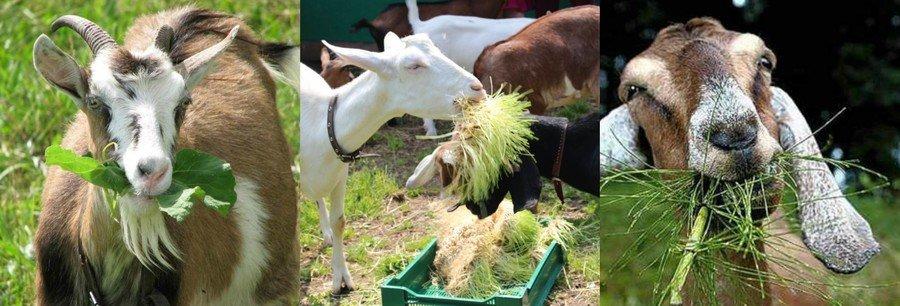 Сочные корма для коз