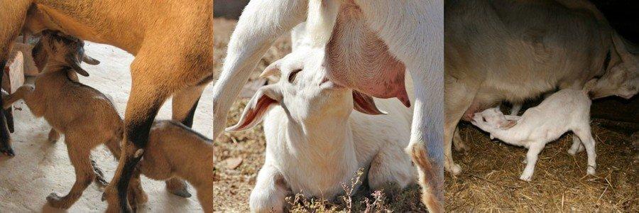 Кормление козлят под матками