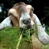 Кормление коз в домашних условиях: рацион в зимний период и виды кормов