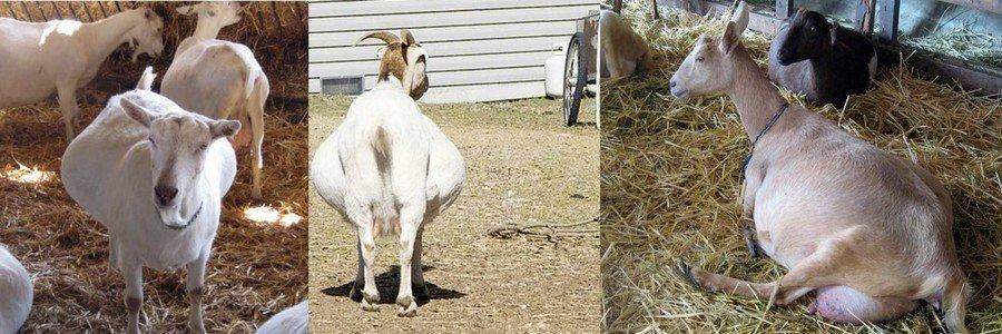как определить что коза гуляет