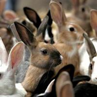 Белые кролики с красными глазами порода