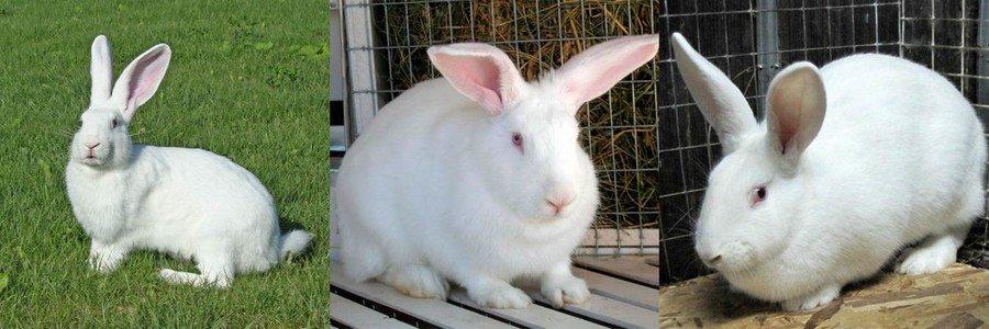 Основные породы кроликов в Украине