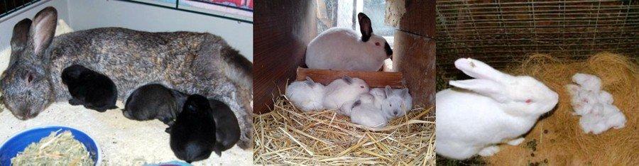 Содержание крольчат