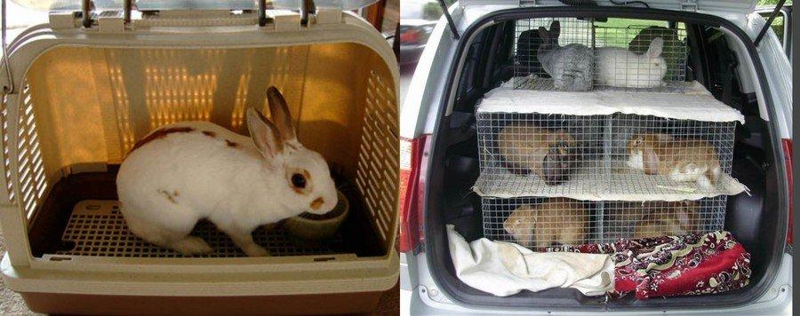 Как правильно выбрать кролика на племя