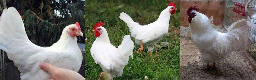 Мини мясные породы кур