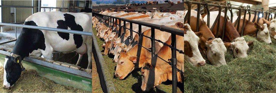 Чем кормить корову после отела