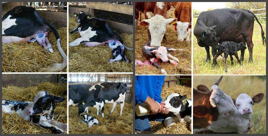 Уход за коровой после отела в домашних условиях: чем кормить, болезни