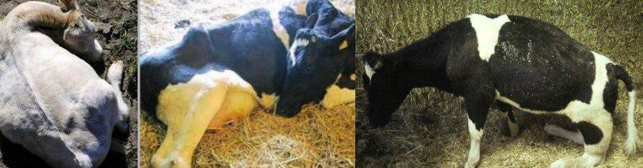 Парез у коровы