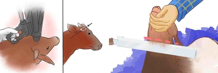 Как оглушить корову