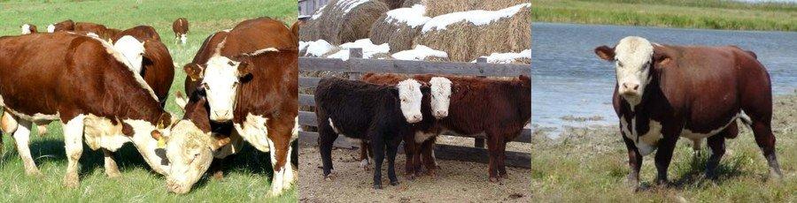 Белоголовая порода коров фото