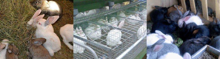 Как содержать кроликов на мясо