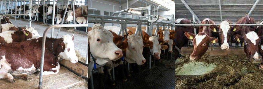 Стойловое содержание коров